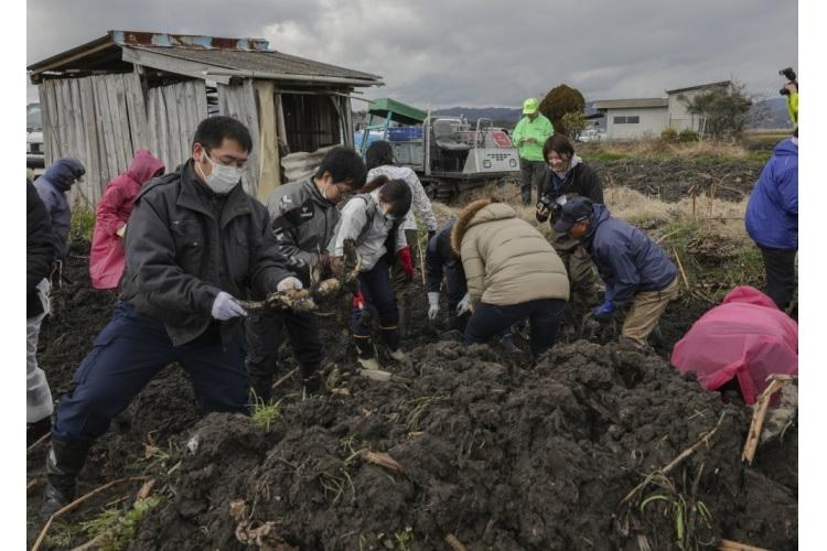Marine Corps Air Station Iwakuni residents and local Japanese residents dig for lotus roots at Iwakuni City's regional wholesale market in Iwakuni City, Japan, Feb. 6, 2020. Station residents were given the opportunity to learn how to harvest and then cook popular lotus root recipes. (Marine Corps photo by Lance Cpl. Trista Whited)