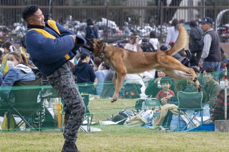 Tek, 374th Security Forces Squadron military working dog, bites a Japanese Air Self-Defense Force Security Guard Squadron handler during the annual air show at Iruma Air Base, Japan, Nov. 3, 2019. The suit allows the dog to practice subduing suspects without endangering the decoy, providing a safe training environment for both dog and handler. (U.S. Air Force photo by Airman 1st Class Brieana E Bolfing)