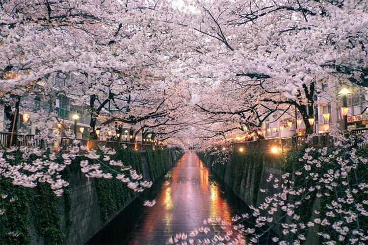 Meguro River Cherry Blossom
