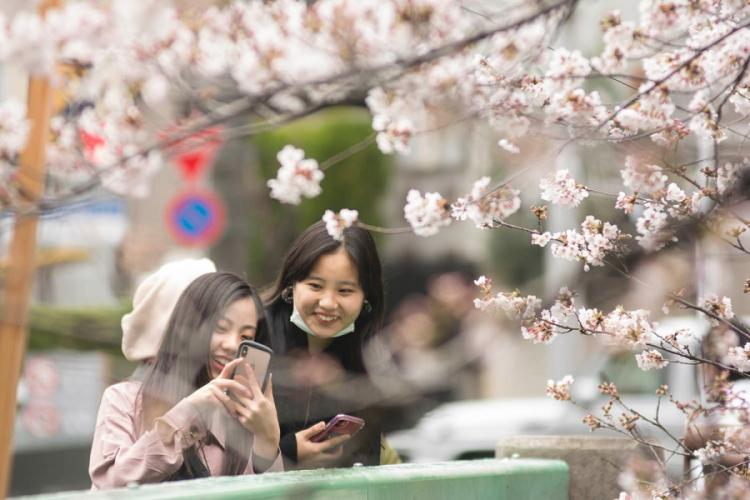 People photograph cherry blossoms along the Meguro River in central Tokyo, Monday, March 23, 2020. AKIFUMI ISHIKAWA/STARS AND STRIPES