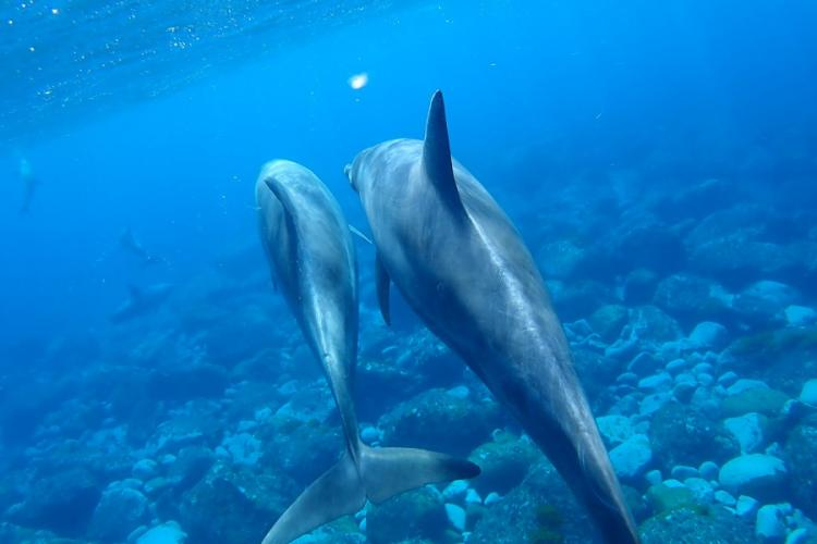 An Indo-Pacific bottlenose dolphin swims with a calf near Mikura Island, Japan, in May 2019. AYA ICHIHASHI/STARS AND STRIPES